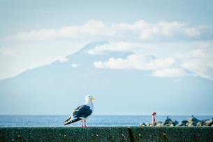 ウミネコと利尻富士の写真素材 [FYI04633700]