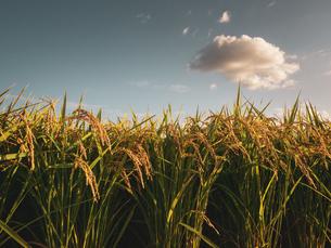 【秋】田んぼで穂が実ってきた米が風にゆれる様子 農業の写真素材 [FYI04633706]