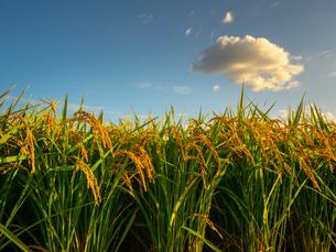 【秋】穂が実ってきた米を耕した田んぼ 農業の写真素材 [FYI04633707]
