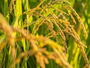 【秋】穂が実ってきた米を耕した田んぼ 農業の写真素材 [FYI04633712]