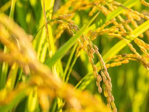 【秋】穂が実ってきた米を耕した田んぼ 農業の写真素材 [FYI04633713]