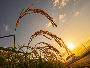【秋】穂が実ってきた米を耕した田んぼ 農業の写真素材 [FYI04633714]