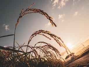【秋】穂が実ってきた米を耕した田んぼ 農業の写真素材 [FYI04633715]