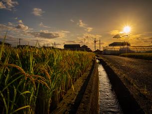 【秋】穂が実ってきた米を耕した田んぼ 農業の写真素材 [FYI04633718]