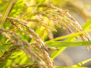 【秋】穂が実ってきた米を耕した田んぼの写真素材 [FYI04633720]