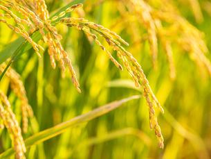 【秋】穂が実ってきた米を耕した田んぼ 農業の写真素材 [FYI04633721]