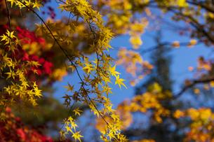 古刹を彩る平林寺の紅葉の写真素材 [FYI04633734]