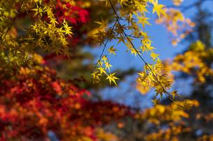 古刹を彩る平林寺の紅葉の写真素材 [FYI04633735]