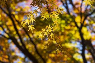 古刹を彩る平林寺の紅葉の写真素材 [FYI04633736]