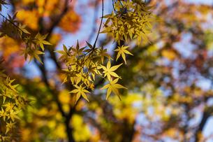 古刹を彩る平林寺の紅葉の写真素材 [FYI04633737]