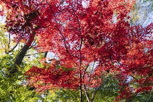 古刹を彩る平林寺の紅葉の写真素材 [FYI04633747]
