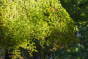 古刹を彩る平林寺の紅葉の写真素材 [FYI04633752]