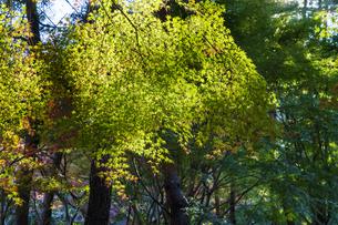 古刹を彩る平林寺の紅葉の写真素材 [FYI04633753]