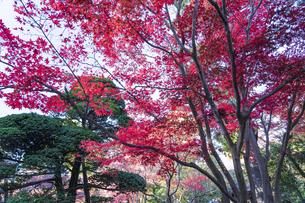 古刹を彩る平林寺の紅葉の写真素材 [FYI04633755]