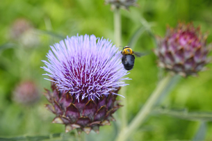 アーティチョークの花  の写真素材 [FYI04633802]