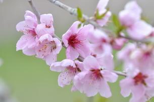 桃の花の写真素材 [FYI04633815]