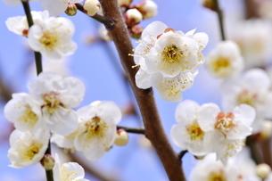 梅の花の写真素材 [FYI04633816]