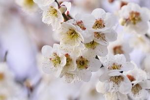 梅の花の写真素材 [FYI04633817]