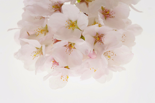 さくらの花の写真素材 [FYI04633830]