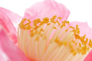 椿の花の写真素材 [FYI04633832]