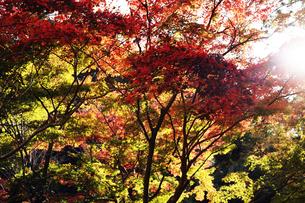 紅葉する木々と光の写真素材 [FYI04634233]
