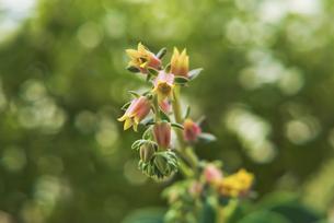 多肉植物 エケベリア 七福神の花の写真素材 [FYI04634448]