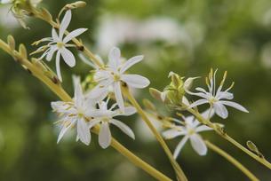 観葉植物 オリズルランの白い花の写真素材 [FYI04634451]