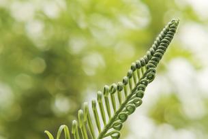 観葉植物 ソテツ 小葉 芽生えの写真素材 [FYI04634459]