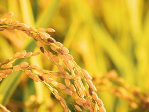 【秋】穂が実ってきた米を耕した田んぼ 農業の写真素材 [FYI04634519]