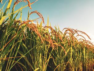 【秋】穂が実ってきた米を耕した田んぼ 農業の写真素材 [FYI04634520]