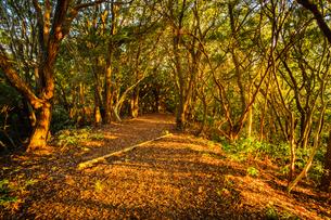【自然風景】秋の夕方の森林の山道の様子の写真素材 [FYI04634531]