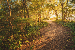 【自然風景】秋の夕方の森林の山道の様子の写真素材 [FYI04634532]