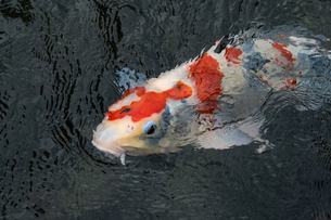 【日本庭園】赤色の錦鯉が池の中で泳ぐ様子の写真素材 [FYI04634540]