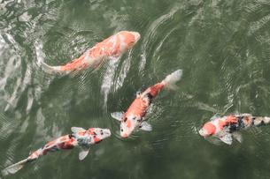 【日本庭園】赤色の錦鯉が池の中で泳ぐ様子の写真素材 [FYI04634541]