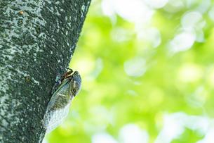 【夏】クマゼミが木に止まっている様子の写真素材 [FYI04634548]