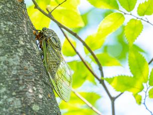 【夏】クマゼミが木に止まっている様子の写真素材 [FYI04634549]