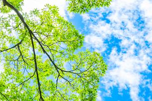 【自然】森林の中から見上げる青空と緑の葉の写真素材 [FYI04634591]