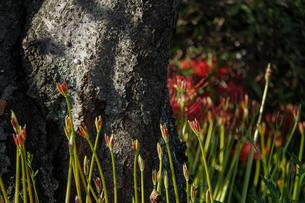森に差す木漏れ日に照らされる彼岸花の蕾と木の幹の写真素材 [FYI04634607]