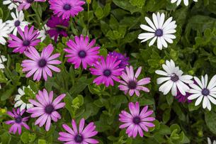 鮮やかな色彩のアフリカンデイジーの花の写真素材 [FYI04634628]