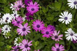 鮮やかな色彩のアフリカンデイジーの花の写真素材 [FYI04634629]