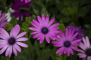 鮮やかな色彩のアフリカンデイジーの花の写真素材 [FYI04634631]