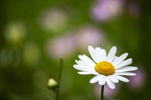 一輪の白いマーガレットの花の写真素材 [FYI04634633]