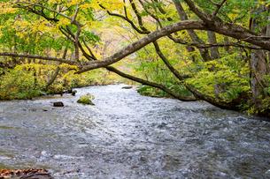 秋の黄葉の木々と渓流の写真素材 [FYI04634649]