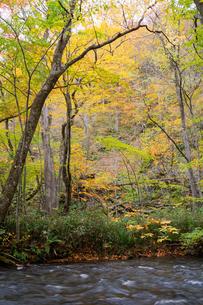 秋の黄葉の木々と渓流の写真素材 [FYI04634650]