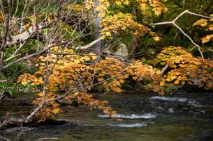 秋の黄葉の木々と渓流の写真素材 [FYI04634651]