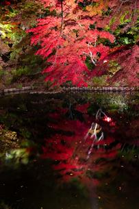 水に映るライトアップされたモミジの写真素材 [FYI04634658]