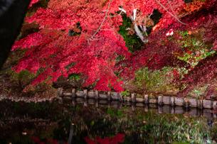 ライトアップされた秋の紅葉の写真素材 [FYI04634659]