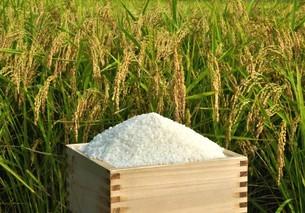 稲穂と収穫米の写真素材 [FYI04634674]