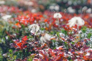 紅葉したチングルマの葉と綿毛の写真素材 [FYI04634688]