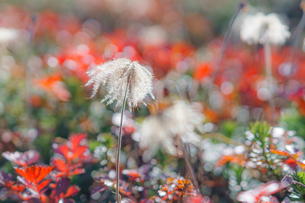チングルマの綿毛の写真素材 [FYI04634689]